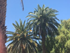 palm tree trimming in orange county